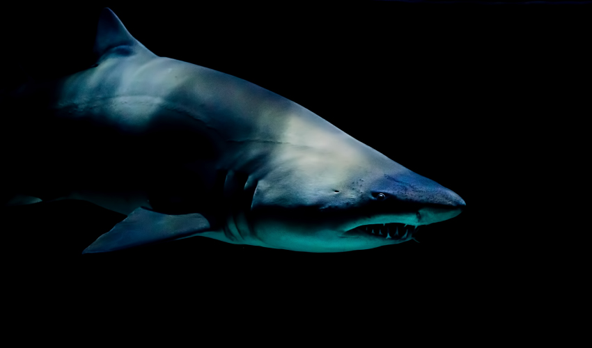 Closeup of a vicious-looking shark with sharp teeth swimming in water that appears black it's so dark